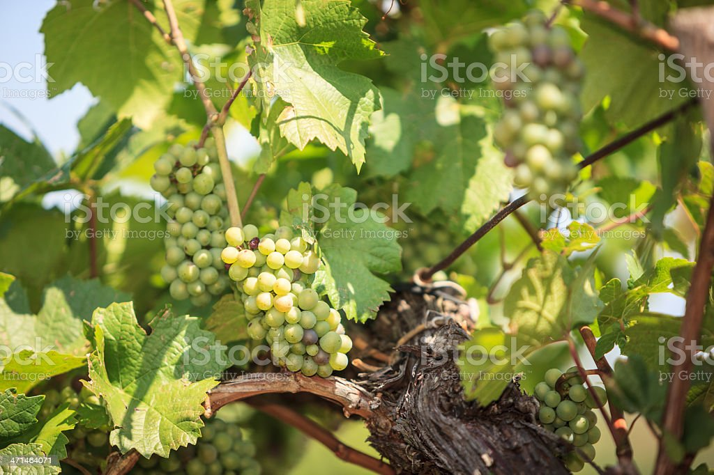 Bunch of grapes in the sun royalty-free stock photo