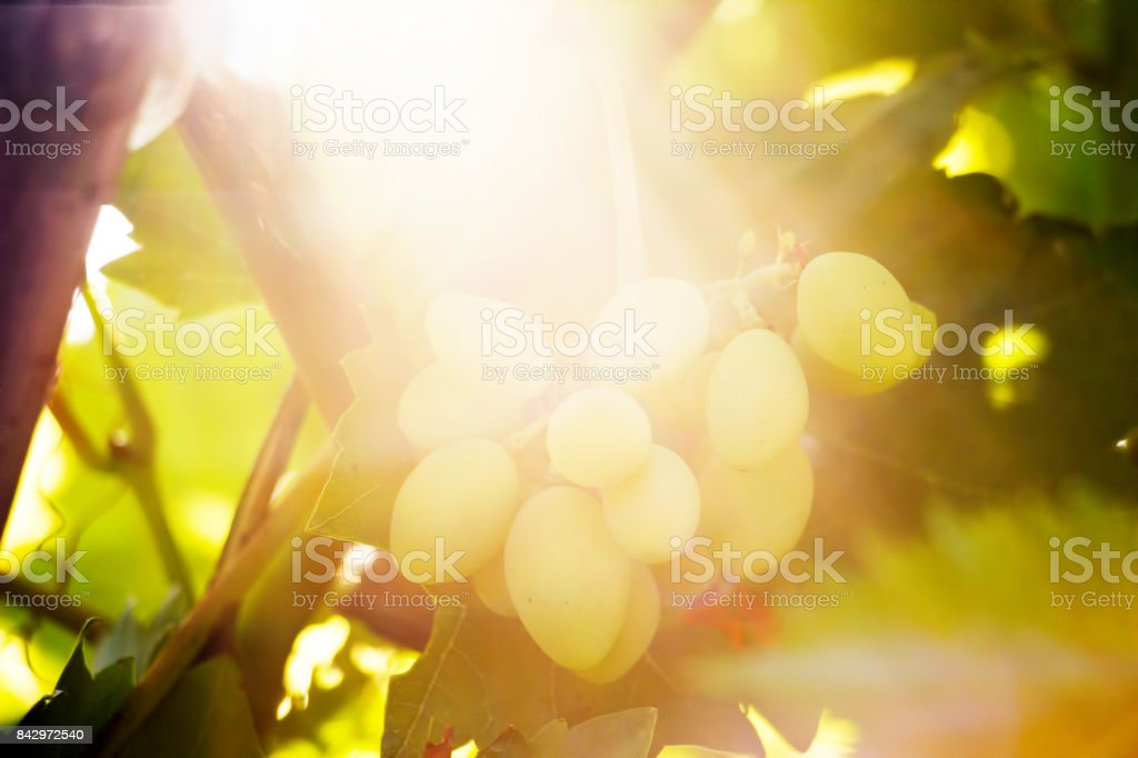Bunch of grapes in the sun stock photo