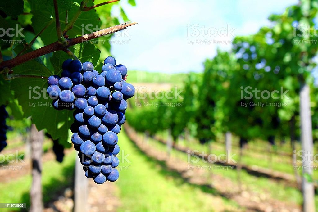 Bunch of grapes in the vineyard background. stock photo