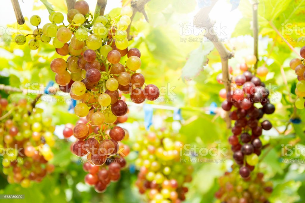 Bunch of grapes on a vine in the sunset. royalty-free stock photo