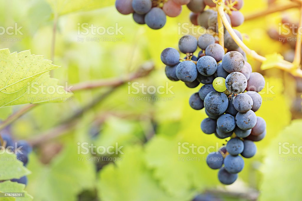 Bunch of grapes on vineyard royalty-free stock photo