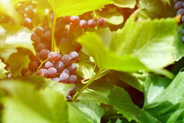 traubenhaufen auf dem weinberg. tafelrote traube mit grünen weinblättern am sonnigen septembertag. herbsternte von trauben zur herstellung von wein, marmelade und saft. - weinflecken entfernen stock-fotos und bilder
