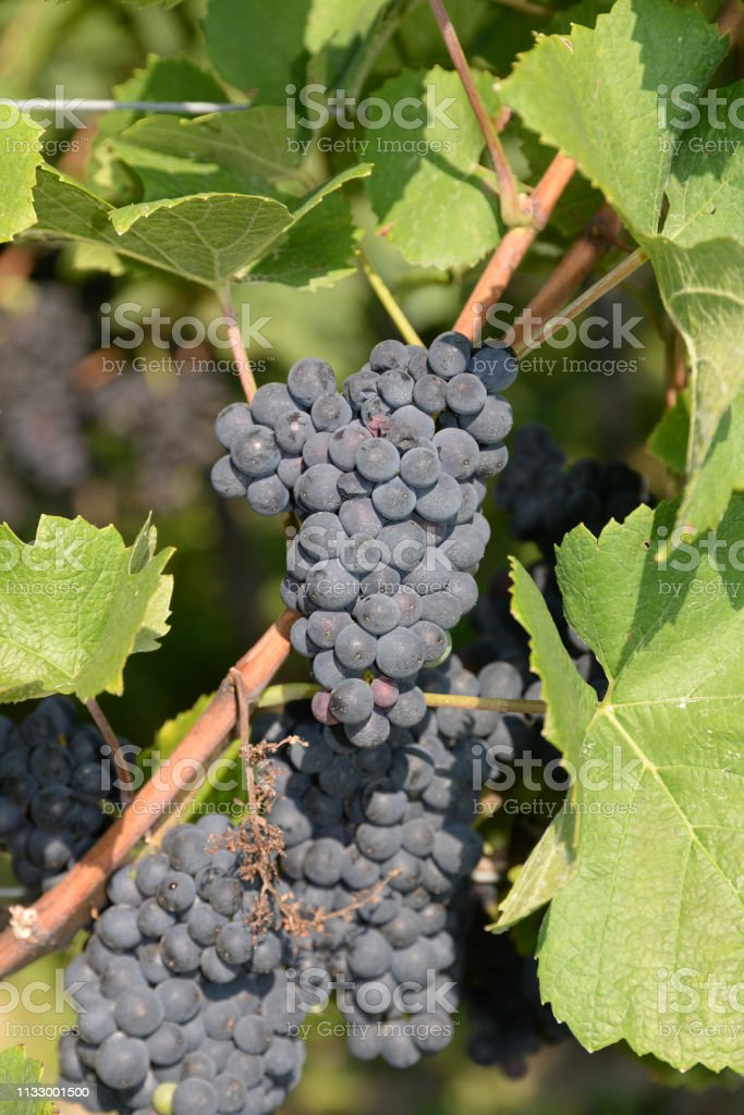 Bunch Of Grapes Stock Photo Download Image Now Istock