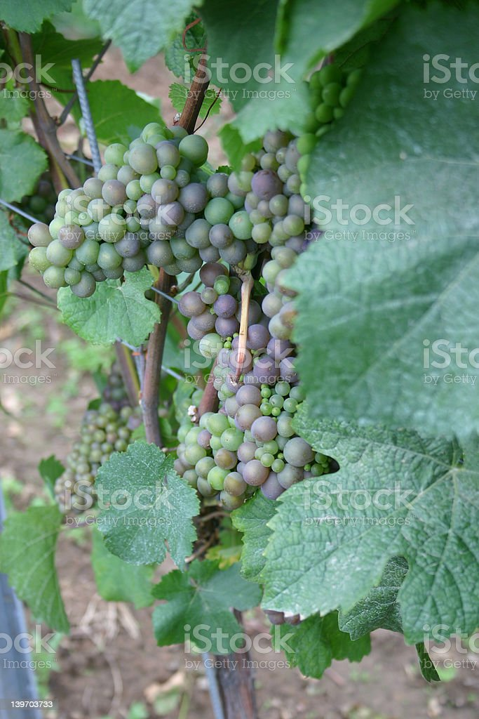 Bunch of grapes (green) royalty-free stock photo