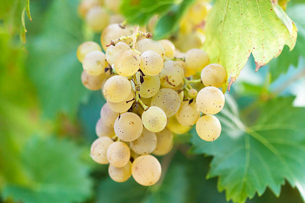 Bunch of grapes (white grapes) stock photo