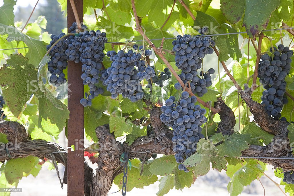 Bunch of Grapes royalty-free stock photo