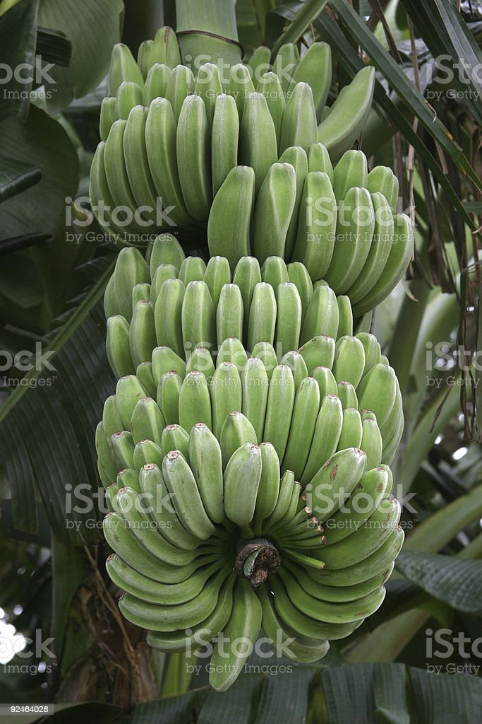 Bunch Of Green Bananas - Kauai, Hawaii stock photo