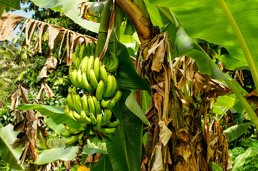 Bunch Of Green Bananas On A Tree Stock Photo - Download ...