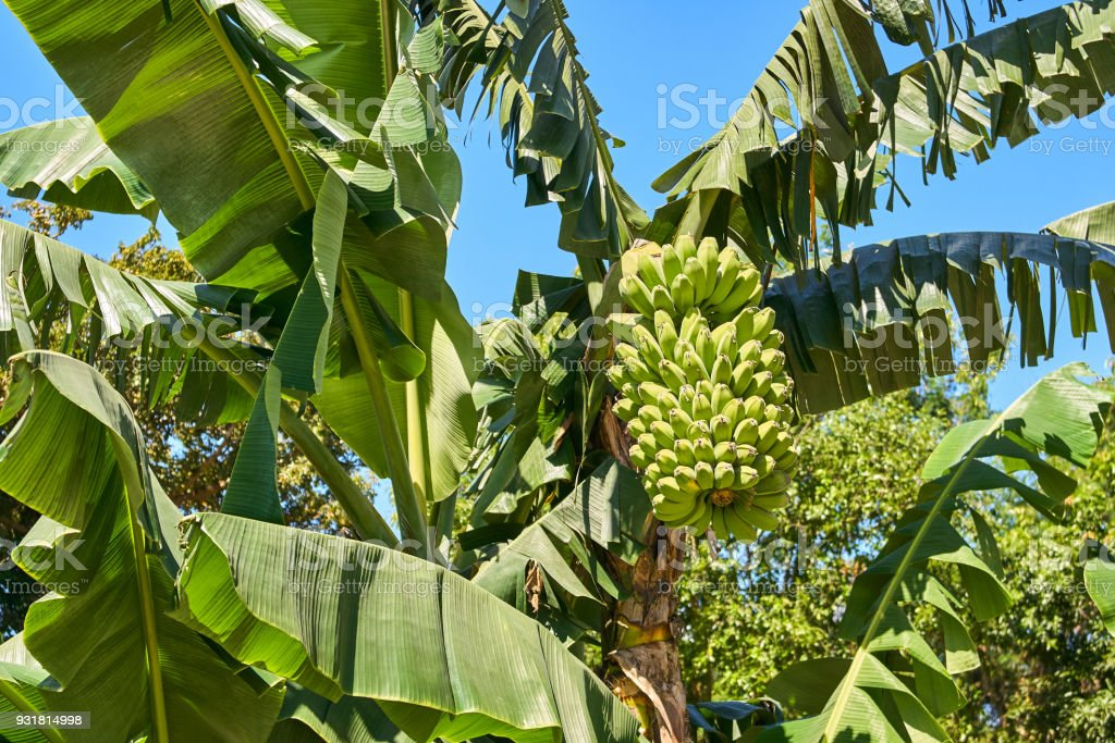 Bunch Of Green Bananas On The Tree Stock Photo & More ...