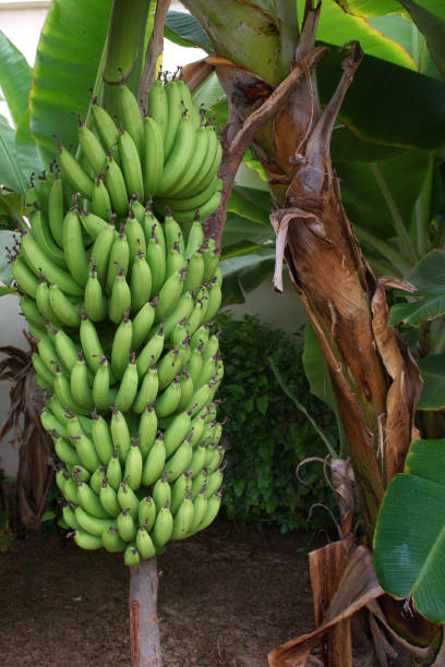 Bunch of green bananas ripening on a tree stock photo