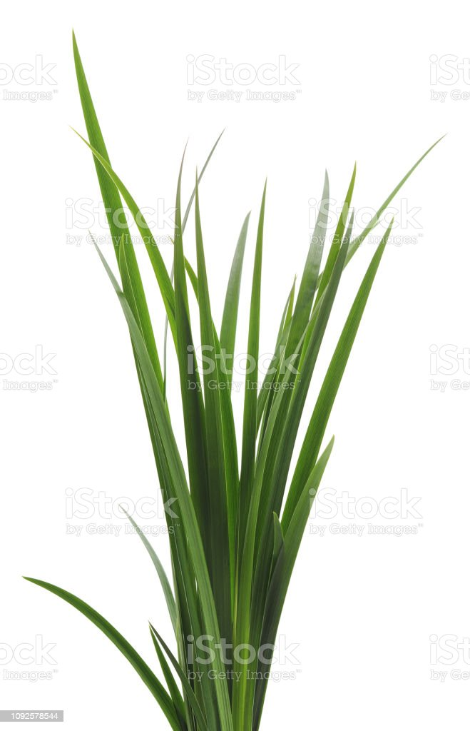 Bunch of green cane. - Royalty-free Arbusto Foto de stock