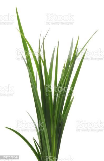 Bunch Of Green Cane - Fotografias de stock e mais imagens de Arbusto