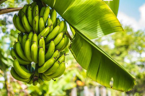 Grüne Bananen – Foto