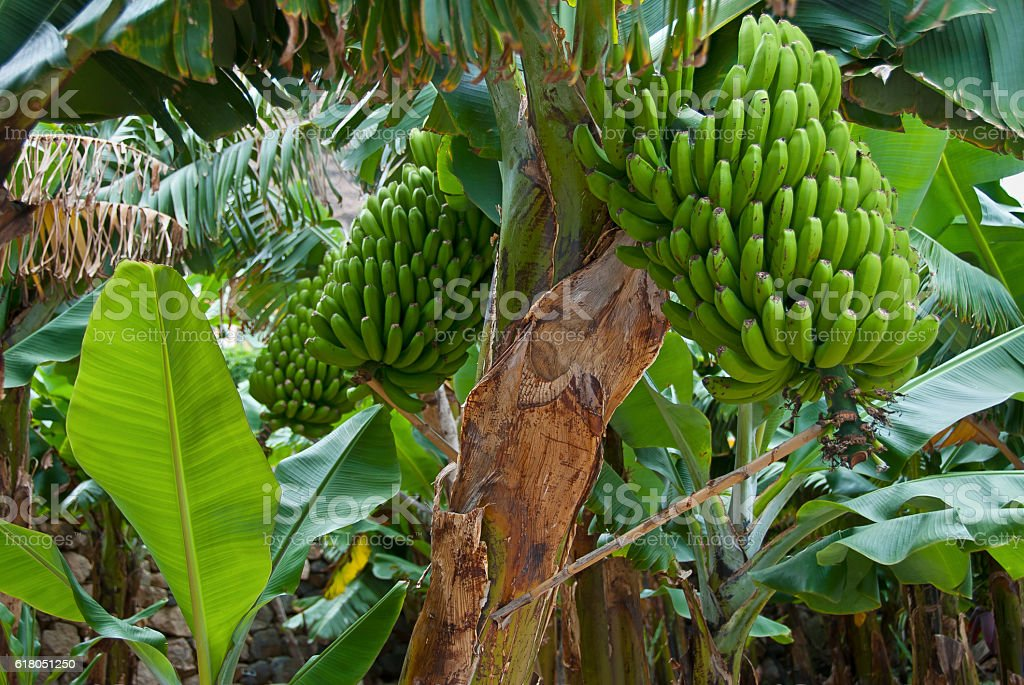 Bunch of green fresh Bananas – Foto
