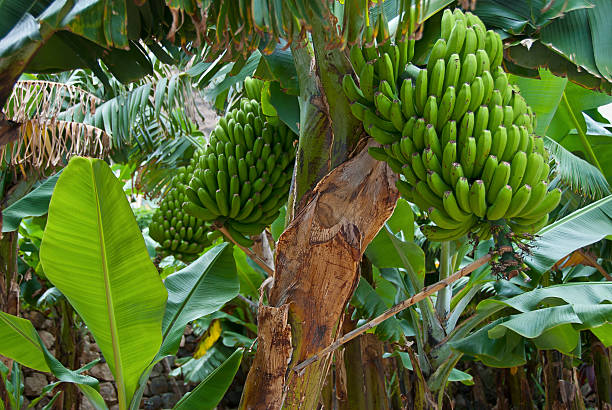 Bunch of green fresh Bananas - foto de stock