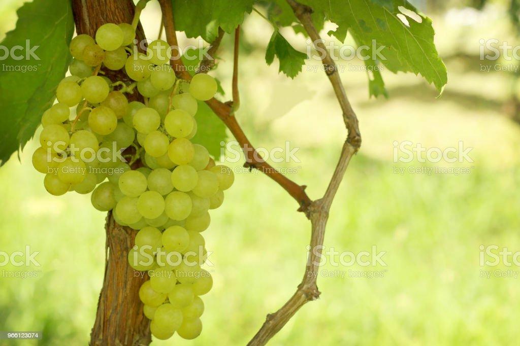 Reihe von grünen Trauben mit Blätter hängen im Weinberg. - Lizenzfrei Abnehmen Stock-Foto