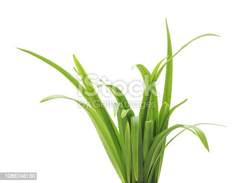 Bunch of green grass isolated on a white background.