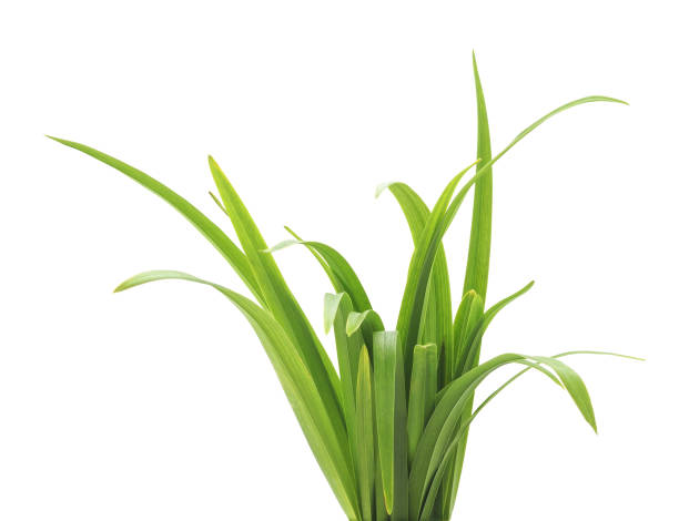 Bunch of green grass. Bunch of green grass isolated on a white background. plant stem stock pictures, royalty-free photos & images