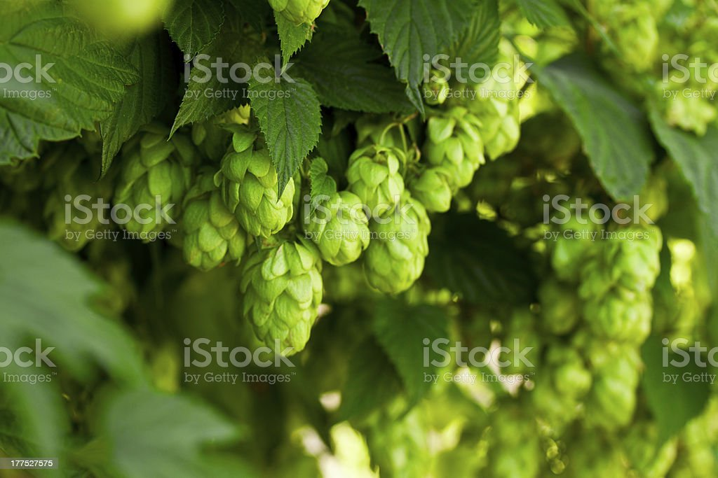 A bunch of green hops on a tree stock photo