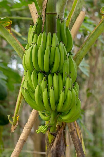 Reihe von grünen unreifen Cavendish Bananen wachsen – Foto