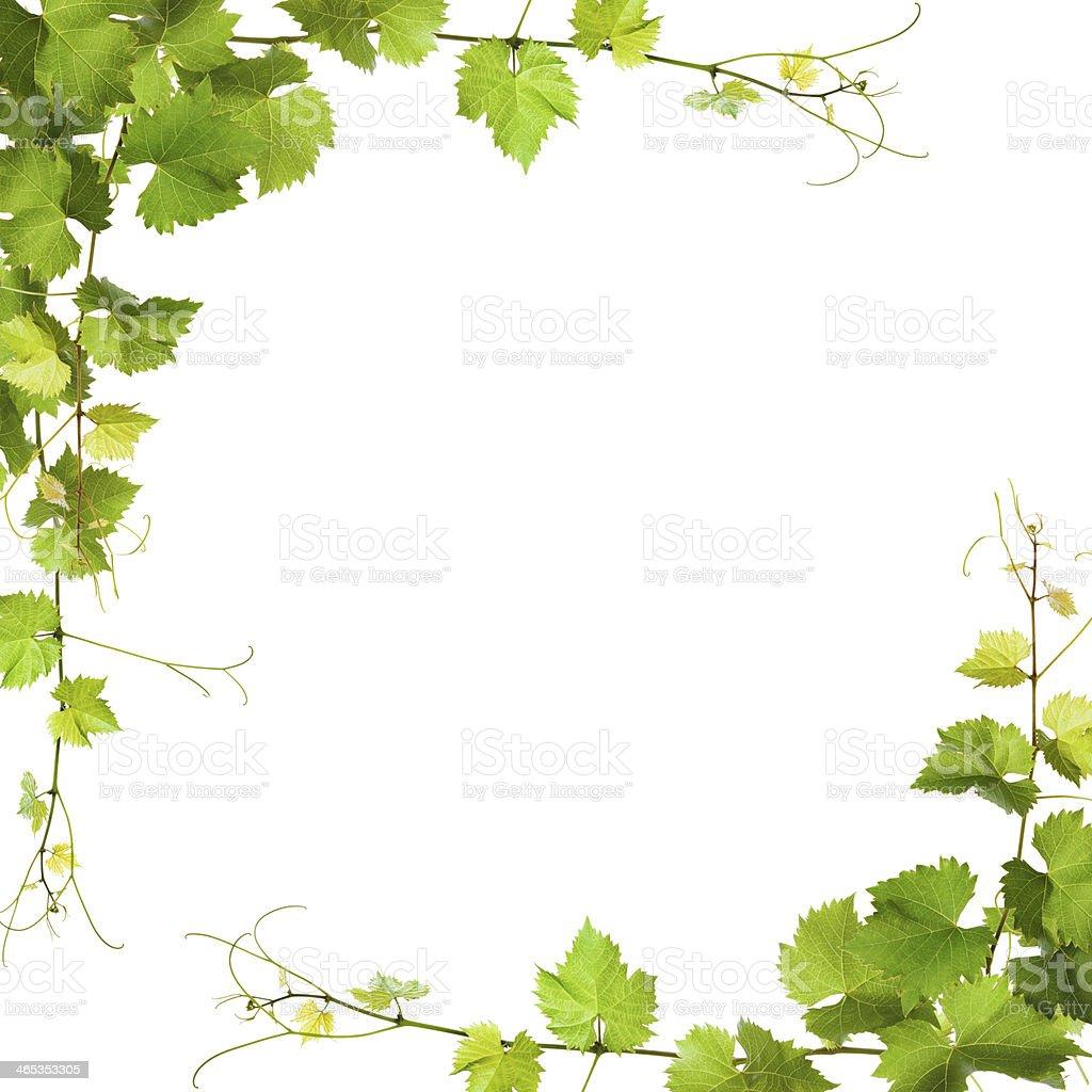 Paar grüne Weinblätter – Foto