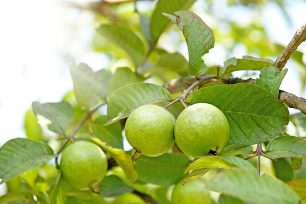 Bunch of guava fruits in a tree with sunshine Bunch of guava fruits in a tree with sunshine on top left corner guava stock pictures, royalty-free photos & images