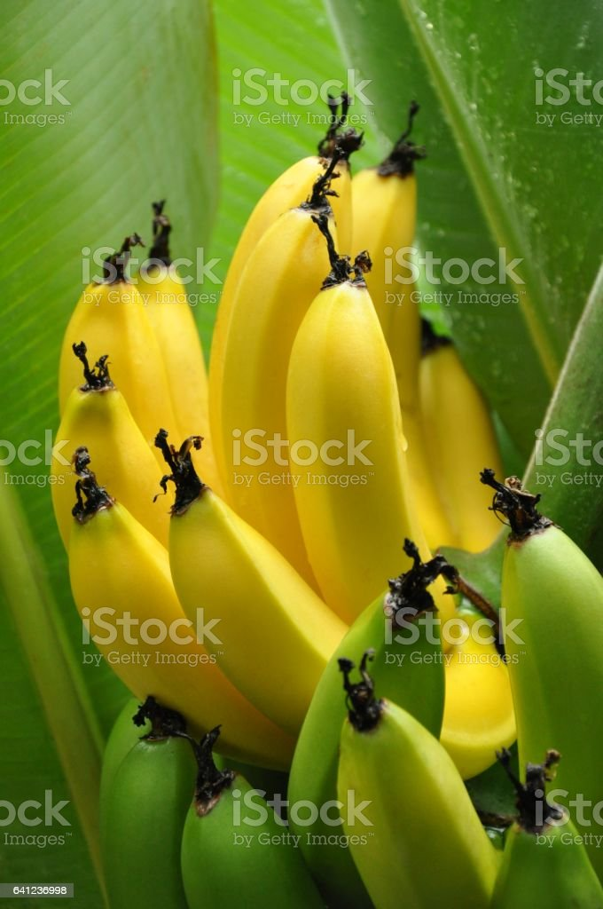 Bunch of Half ripe bananas hanging on a tree – Foto