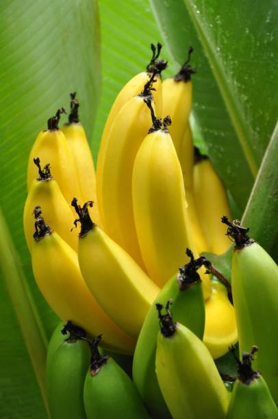 Bunch of Half ripe bananas hanging on a tree – Foto