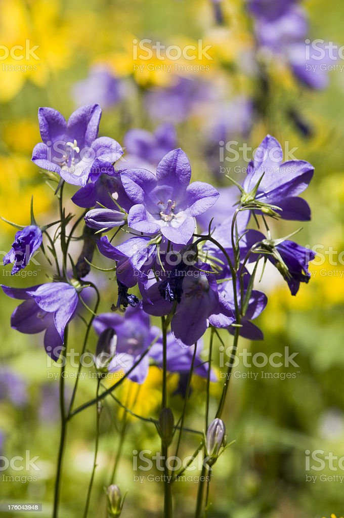Bunch of Harebells royalty-free stock photo