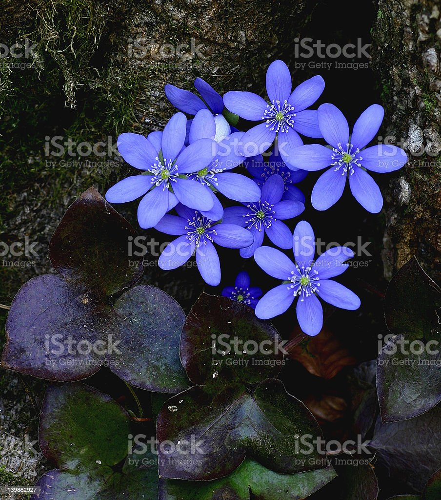 Bunch of hepatica plants is snuggling up to tree stem royalty-free stock photo