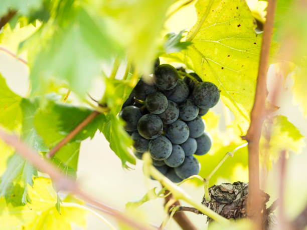 Bunch of Hidden Grapes on the Vine stock photo