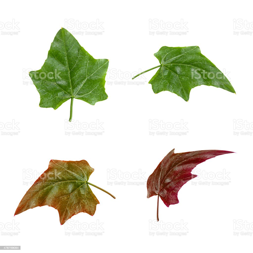 Bunch of Ivy Gourd Leaves Isolated on White Background stock photo