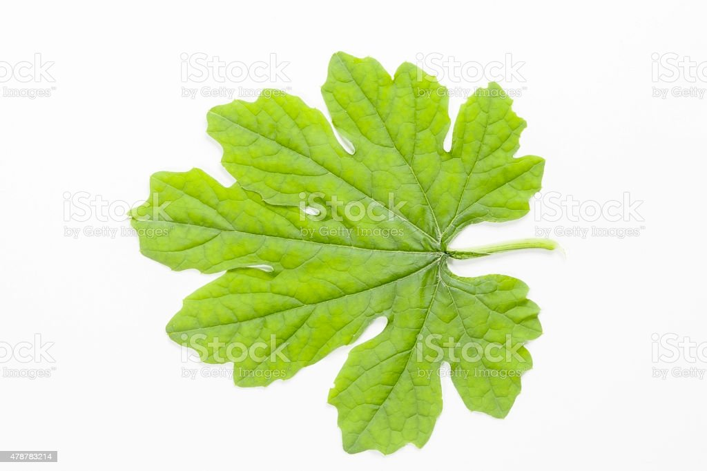 Bunch of Ivy Gourd Leaves, Isolated on White Background stock photo