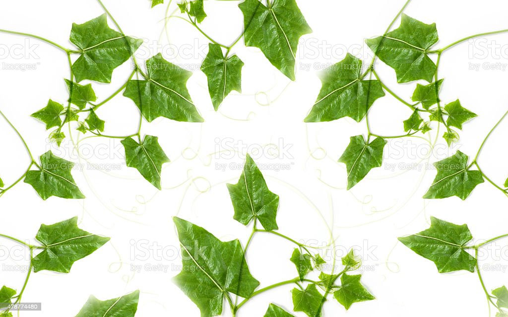 Bunch of Ivy Gourd Leaves,  on White Background stock photo