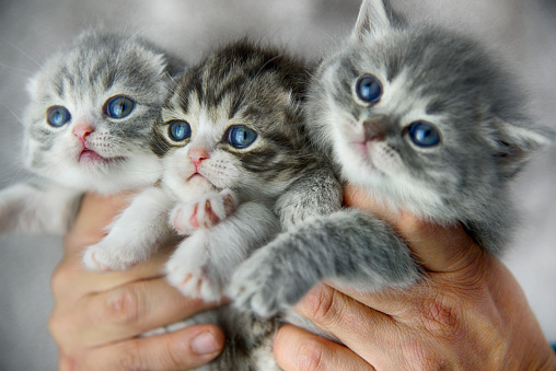Hands holding three little cats