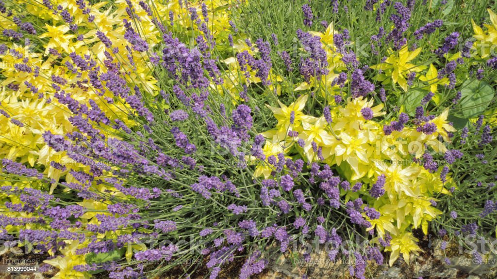Bunch Of Lavender Flowers Among Yellow Leaf Plant In A Rock Garden On A  Summer Day Stock Photo   Download Image Now