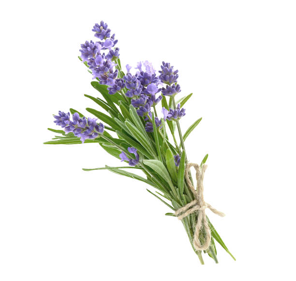 Bunch of lavender flowers isolated on a white Bunch of lavender flowers in soft tone isolated on a white background bundle stock pictures, royalty-free photos & images