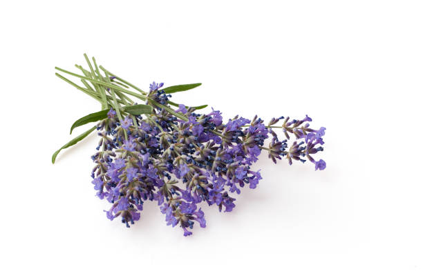 Bunch of lavender flowers isolated over white background stock photo