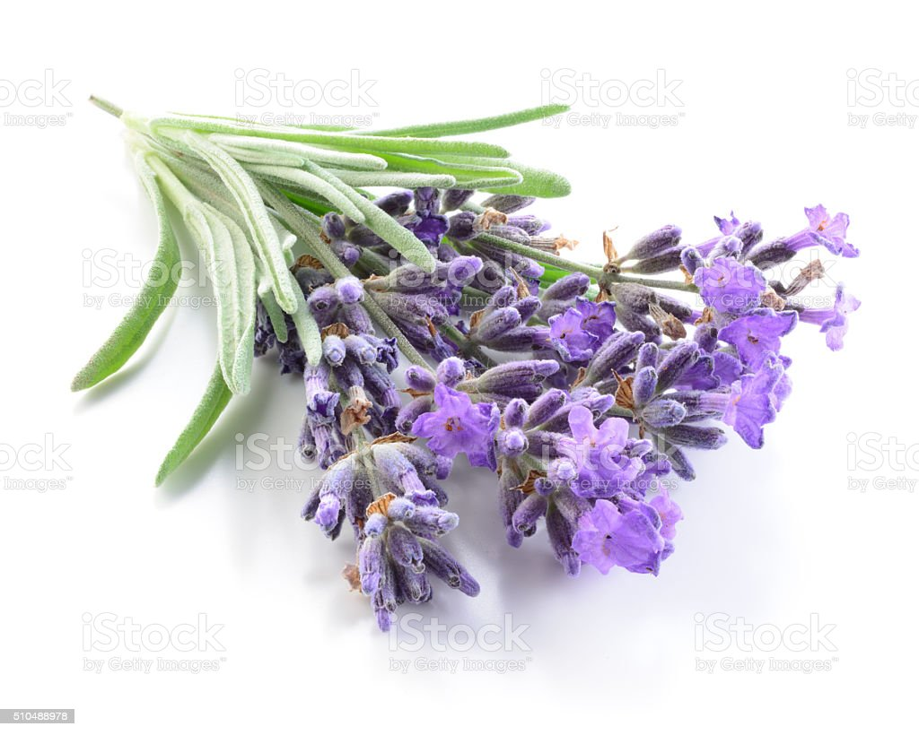 Bunch of lavender flowers on a white background stock photo