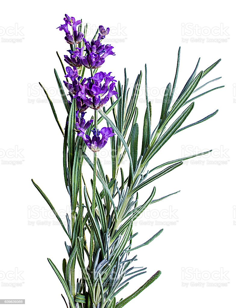 Bunch of lavender flowers on white stock photo