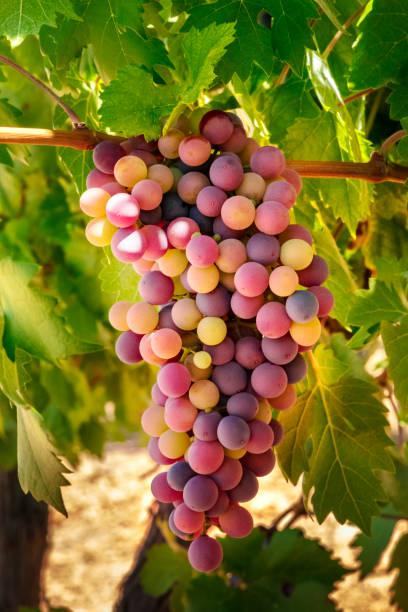 A bunch of light wine grapes hanging from a vine in a vineyard at autumn harvest stock photo