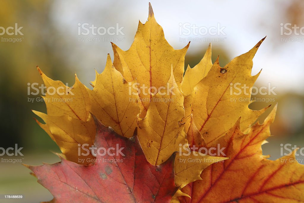 Bunch of maple leafs royalty-free stock photo