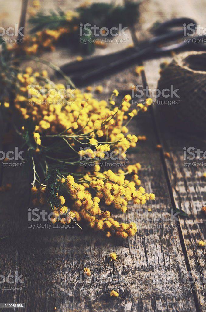 Bunch of mimosa and scissors on rustic wooden background stock photo