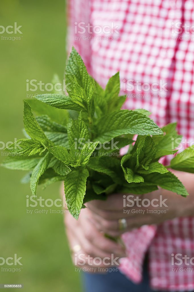 Bunch of Mint in woman's hands stock photo