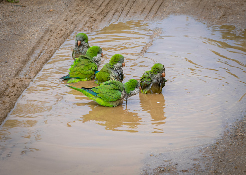 A bunch of Monk Parakeets taking a bath in a puddle of water in Parc de la Ciutadella, Barcelona.