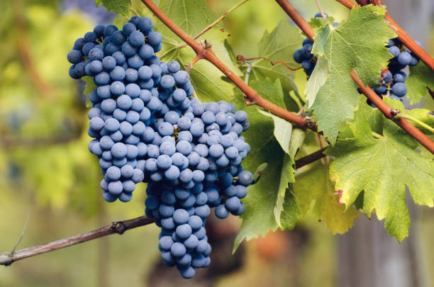 Bunch Of Nebbiolo Grape In The Vineyards Of Barolo Stock Photo ...
