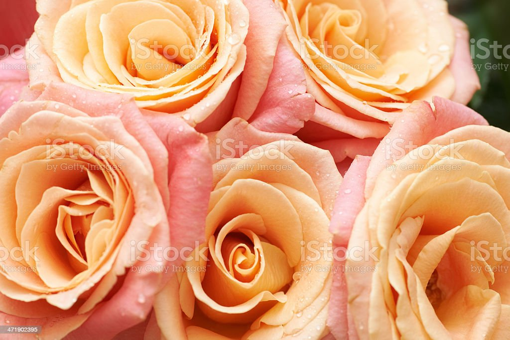 Bunch of orange and red beautiful roses. royalty-free stock photo