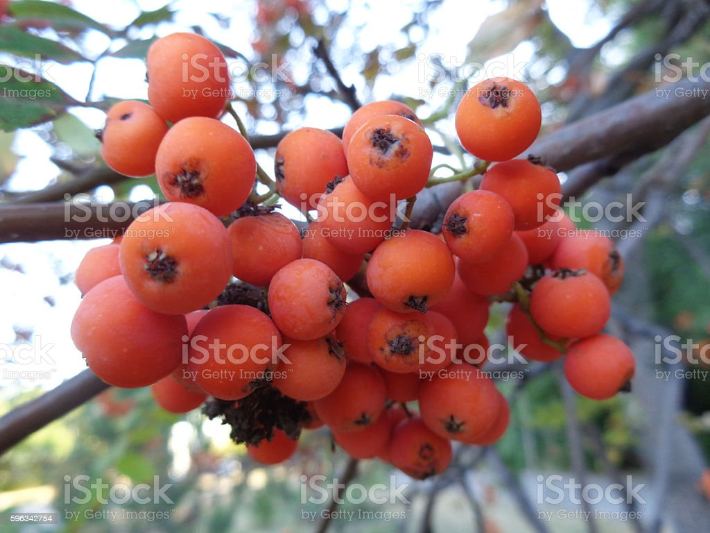 Bunch of orange of mountain ash on branch Lizenzfreies stock-foto