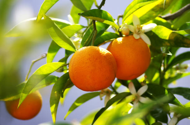 bunch of oranges fruit on branches stock photo