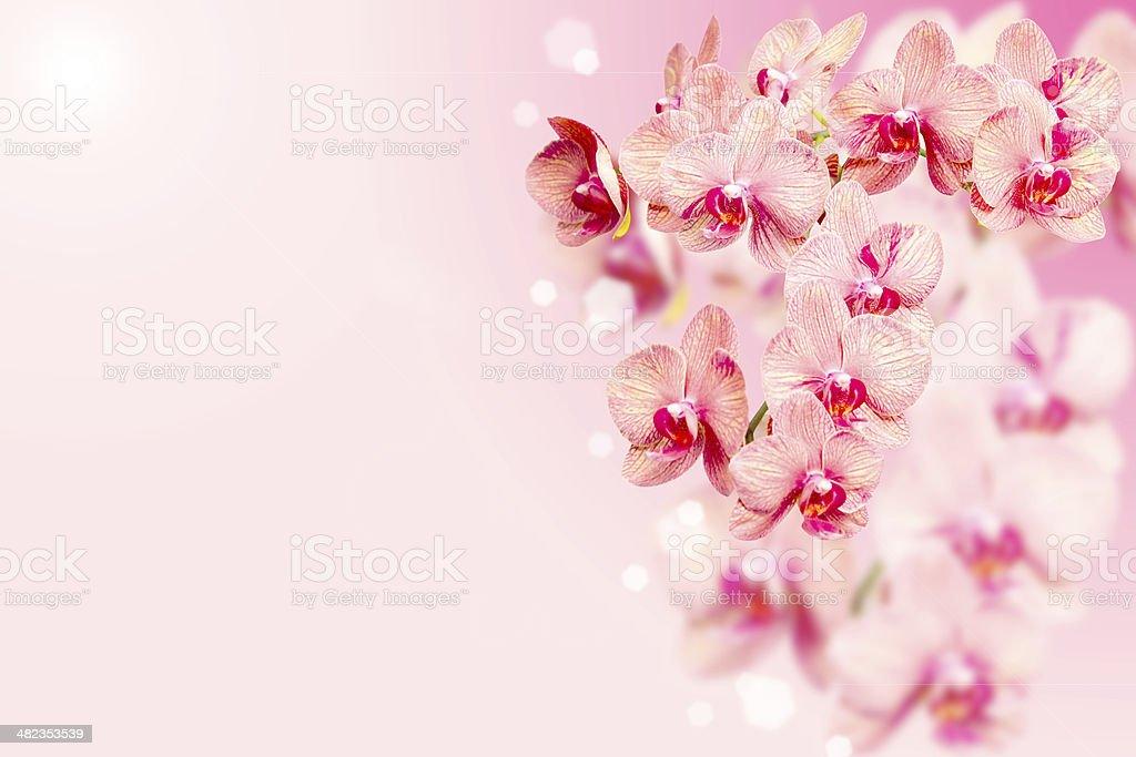 Casco Di Orchidee Fiori Su Sfondo Rosa Sfumato Fotografie Stock E